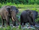 Đau lòng với hình ảnh voi bới rác để tìm thức ăn
