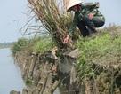 Quảng Trị: Tuyến đê chống lũ bị xói lở nghiêm trọng, đe dọa vựa lúa hàng nghìn ha!