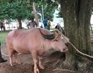 Yên Bái: Vẫn thịt trâu tế nhưng quây kín bạt, không cho dân xem