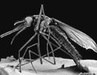 Cảnh giác với một loài muỗi khác có thể mang vi rút Zika