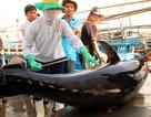 Đầu năm nhiều tàu cá trúng đậm cá ngừ, ngư dân thu tiền tỷ