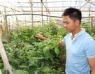 Lâm Đồng: Bỏ làm kỹ sư về trồng phúc bồn tử thu gần 1 tỷ mỗi năm