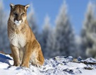 Báo sư tử Eastern bị tuyên bố tuyệt chủng