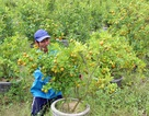 Quất Tết bất ngờ vàng lá, rụng quả, nhà vườn thất thu