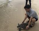 Giám đốc doanh nghiệp bỏ tiền mua rùa quý hiếm thả về biển