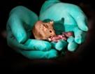 Kỹ thuật tạo ra chuột con từ… hai chuột cái đầu tiên trên thế giới