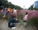 Cánh đồng cỏ hồng đẹp như mơ bị khách Trung Quốc dẫm đạp không thương tiếc