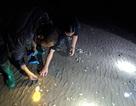 Hàng trăm tấn ngao chết bất thường trong đêm