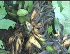 Đàn khỉ kéo về phá nát vườn chuối của dân