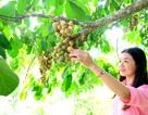 Quảng Nam: Về Tiên Phước thưởng thức lòn bon tận vườn