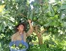 Đắk Nông: Kỹ sư xây dựng bỏ việc lên núi, thu tiền tỷ nhờ trồng bơ sạch