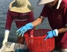 Săn đặc sản vẹm trên biển, ngư dân thu tiền triệu/ngày