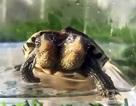 """Chuyện lạ: Rùa tai đỏ 2 đầu sống khoẻ mạnh """"thách thức"""" khoa học"""