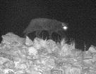 """""""Quái vật báo đen Cumbria"""" lần đầu bị bắt gặp bằng camera hồng ngoại"""