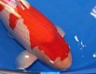 Cận cảnh chú cá Koi đắt nhất thế giới giá 42 tỷ đồng