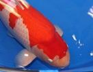 Người Việt bình cá Koi 41,5 tỷ đồng: 'Không ai mua giá ấy'