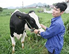 Hoa hậu Bò Sữa: Vương miện vàng cho ngành chăn nuôi bò sữa