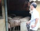 """Sau cơn """"bão giá"""", lợn ăn cả...nhà, ăn cả """"sổ đỏ"""""""
