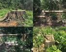 Tỉnh uỷ Bình Phước yêu cầu điều tra vụ phá rừng nghiêm trọng