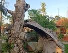 """Những gốc cổ thụ đã chết bất ngờ """"hồi sinh"""" tại Kiên Giang!"""
