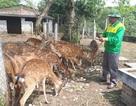 Đề nghị công nhận hươu sao là giống vật nuôi