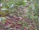 Thả 1 cá thể tê tê quý hiếm về rừng