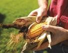 Cây trồng công nghệ sinh học: Thêm lựa chọn cho nhà nông trong canh tác