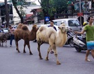 Lạc đà dạo phố Hà Nội khiến người dân tò mò