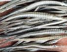 3-4 triệu đồng/kg cá lìm kìm gai khô, vẫn không biết để làm gì?
