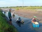 Mãn nhãn chuyện nông dân quậy bùn... bắt tôm càng xanh!
