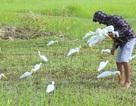 Thanh Hóa: Sự thật tàn nhẫn sau cánh đồng cò giả bẫy cò thật của thợ săn