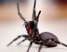 Điểm danh những loài nhện độc nhất thế giới có khả năng gây chết người