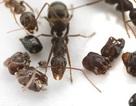 """Kì lạ loài kiến thích """"sưu tầm"""" đầu loài kiến khác để… trang trí tổ"""