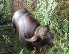 Bò tót chết trong khu bảo tồn vì… tai nạn giao thông?