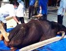 Bò tót nặng 700kg chết trong khu bảo tồn thiên nhiên