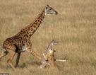 Khoảnh khắc hươu cao cổ mẹ nỗ lực bảo vệ con trước sư tử săn mồi