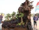 """Cặp bonsai mọc trên gốc cây củi mục """"trăm tuổi"""" giá bạc tỷ ở Hà Nội"""