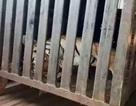Con hổ khát máu ăn thịt 13 người ở Ấn Độ đã bị tiêu diệt