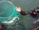 Cá bớp chết hàng loạt, nông dân Lý Sơn thiệt hại tiền tỷ