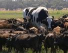 Chú bò may mắn thoát chết nhờ to quá khổ so với lò mổ địa phương