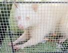 Bắt được gấu mèo bạch tạng siêu hiếm tại Mỹ