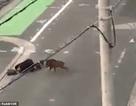 Clip lợn rừng tấn công người trên đường đi làm ngay giữa khu đô thị