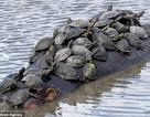 """Đàn rùa chen chúc nhau bám lên lưng hà mã khổng lồ để """" đi ké"""" sang sông"""