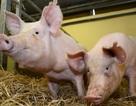 Dùng tim lợn để thay thế tim người?