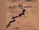 Rùng mình cảnh rắn cắn phập răng vào đầu đồng loại, kéo lê đi ăn thịt