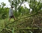 Hơn 2.000 ha quýt, cam ở Đồng Tháp bị chết mòn