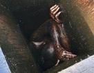 Đi ăn trộm, suýt chết vì kẹt trong lỗ thông hơi đầy dầu mỡ suốt 2 ngày