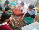 Bạc Liêu: Ngăn chặn hàng chục tấn tôm chứa tạp chất