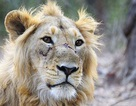 3 con sư tử quý hiếm bất ngờ bị tàu hoả đâm chết tại chỗ