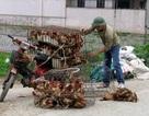 Cảnh báo khẩn: Gà lậu Trung Quốc ồ ạt về Việt Nam
